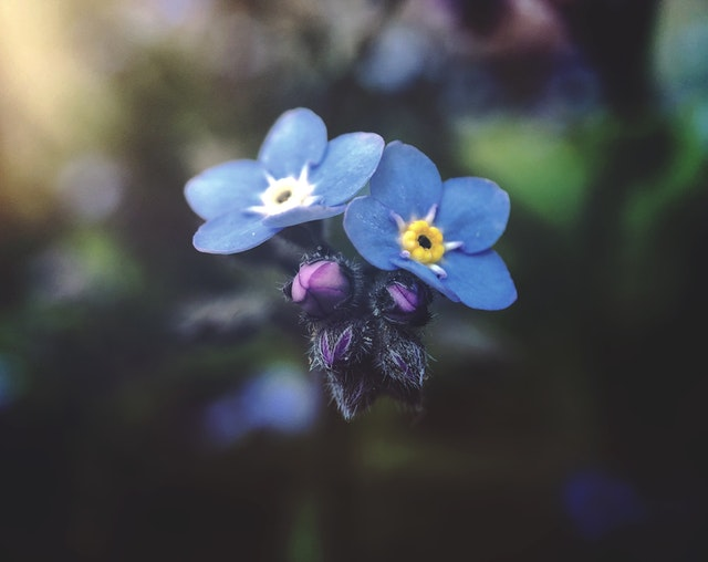 Forget Me Not ফুল